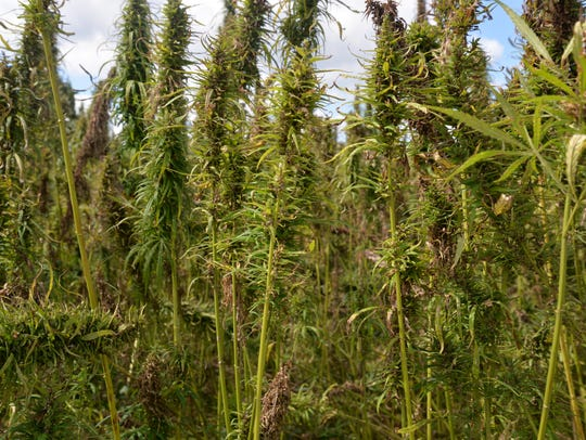 Industrial hemp out at Riverhill Farms in Port Republic,