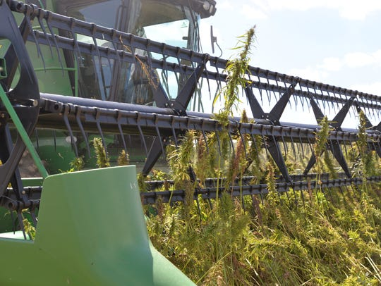 Industrial hemp being harvested by a combine out at
