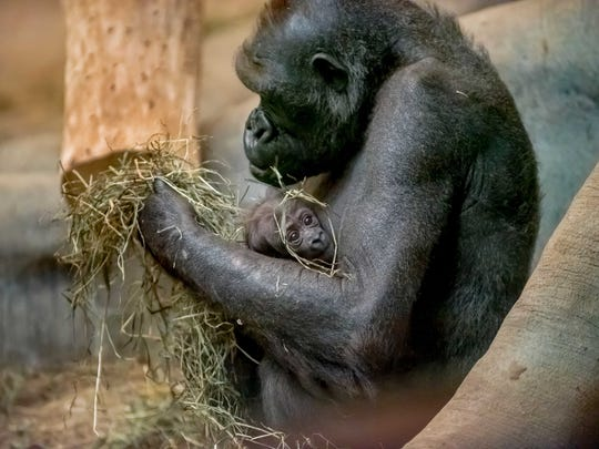 Mother Naku cradles her baby gorilla at the Milwaukee County Zoo.