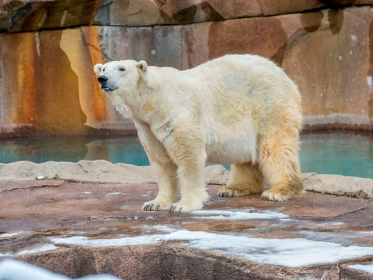 Snow Lilly, the Milwaukee County Zoo's polar bear,
