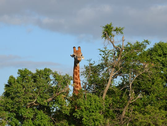 A giraffe scans the horizon at the Phinda Private Game Reserve in South Africa.