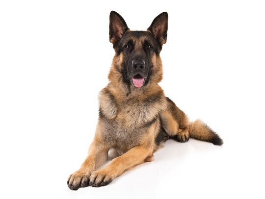 The noble German Shepherd Dog is the second most popular