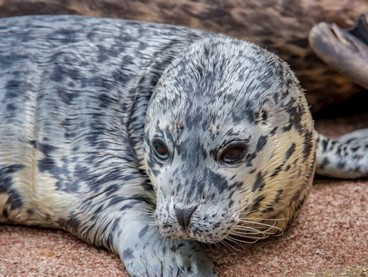 636633636592564336-Harbor-Seal-Pup-05-2018-7606-E.jpg