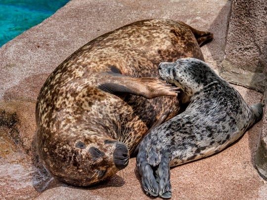 Mother Sydney stays close to her baby seal. The seal was born yesterday at the Milwaukee County Zoo and doesn't have a name yet.