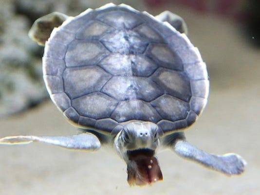 636362573353271151-turtle.JPG