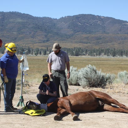 A veterinarian inspects Cody, a horse that was airlifted