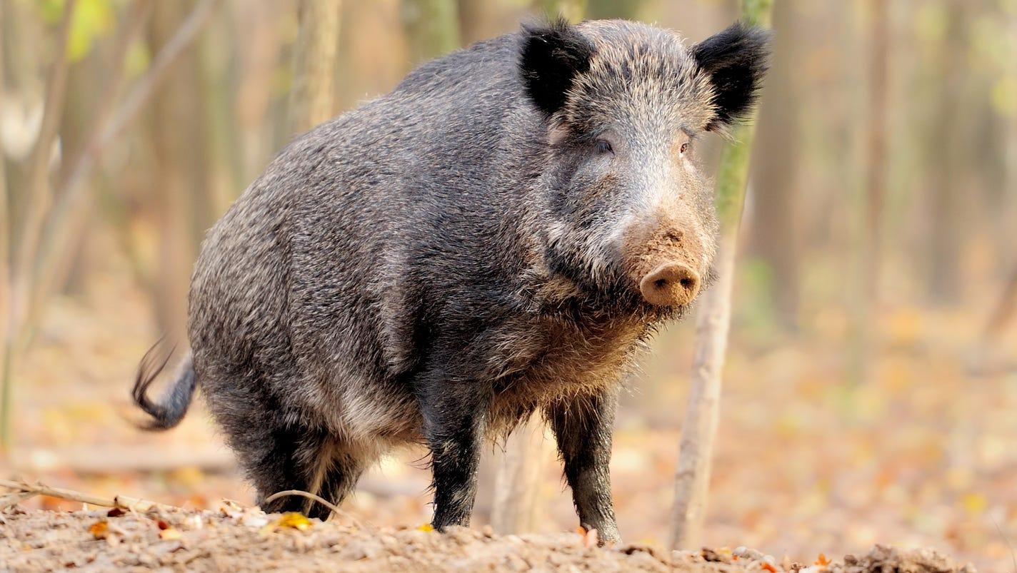 R Hogs Feral pigs crea...