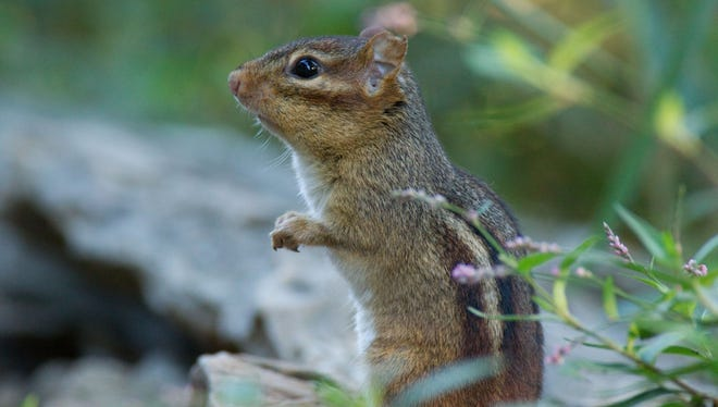 A Chipmunk keeps its eye for danger while searching for food.