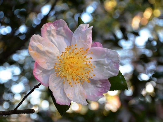 Camellia sasanqua Apple Blossom, with its white petals tipped with pink and a mass of golden stamens, is a prima donna in the garden.