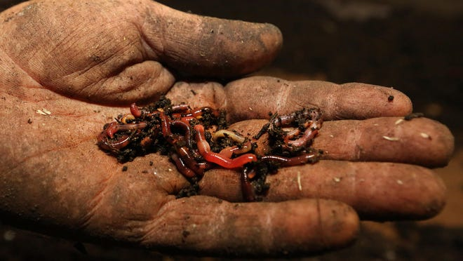 Dan Rasure holds red wiggler worms that he raises for his business, FednHappy, located on the east side of Hutchinson.