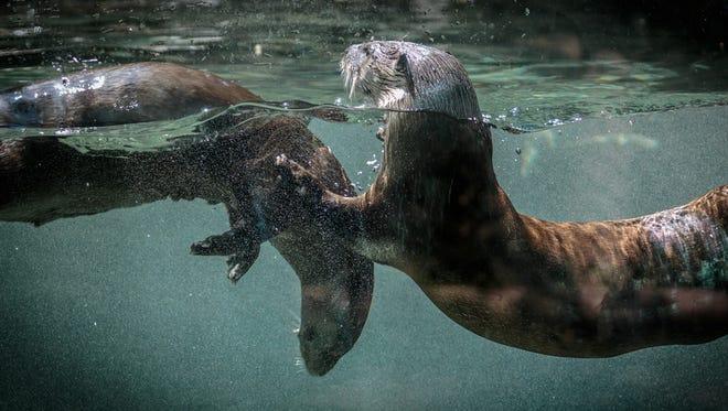 Cincinnati Zoo river otters Sugar and Wesley