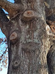 When pruned properly at the collar, the tree is able