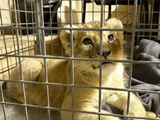 France Lion Cub