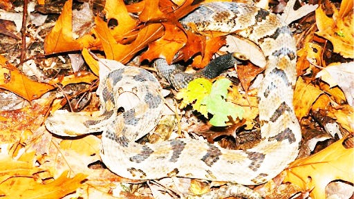 Although not often seen in the Ozarks, timber rattlesnakes are present. They can be dangerous.