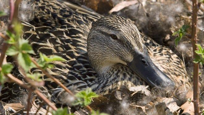 A mallard hen nests near Elmira. Wildlife officials say mallard populations are making a slight comeback.