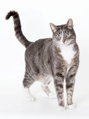 Riley, 11-year-old male domestic short hair cat. Declawed,