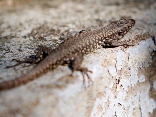 A common wall lizard, also known as a Lazarus lizard,