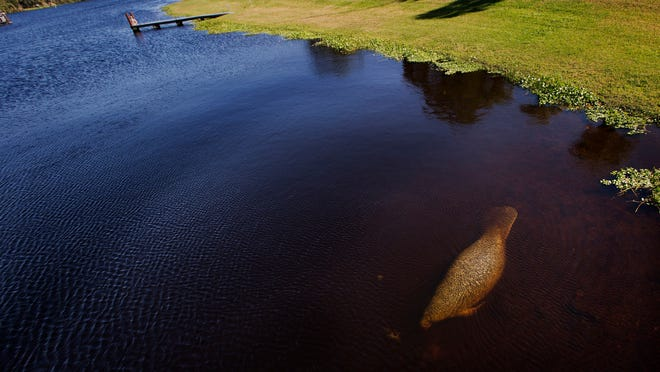 A manatee slowly moves through waters on the Caloosahatchee River on the east side of the Franklin Locks on Tuesday 1/27/2015. Critics of the Deparatment of Environmental Protection say it is not doing it's job when it comes to cutting down pollution loads in Florida's lakes, rivers and estuaries.