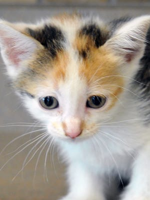 Kallie is a 6-week-old, calico kitten. She is curious and playful. Kallie s available for adoption at the Wichita Falls Animal Services Center.