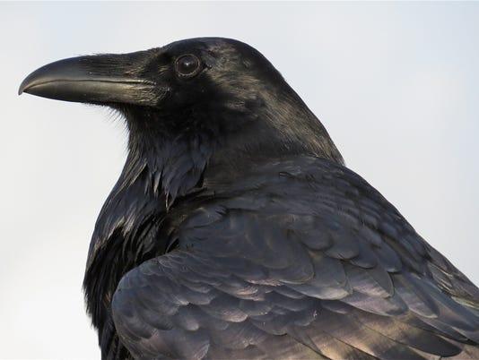RavenPortrait.jpg