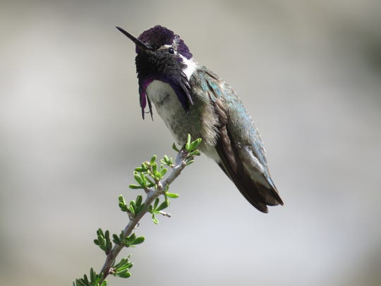 A Costa's hummingbird in Mojave National Preserve.