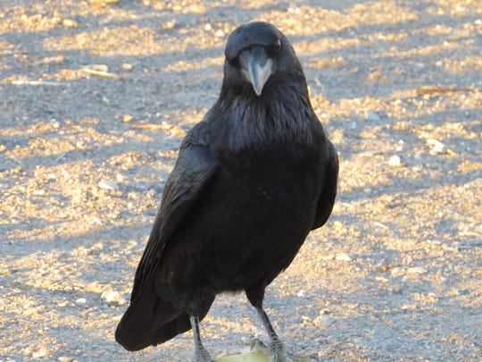A common raven in Death Valley National Park.