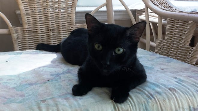 This is one of the Wakulla cats looking for a home.