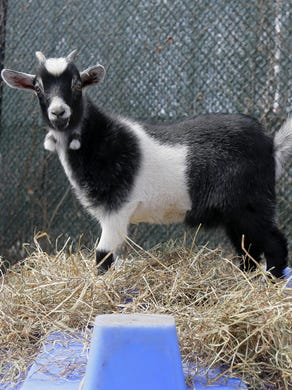 2017: Baby African pygmy goats play in a pen with their mothers at Six Flags Great Adventure and Safari in Jackson, NJ Monday February 27, 2017.