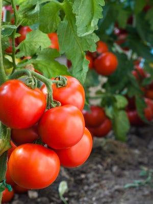 Use up your tomato crop by making spicy-sweet tomato jam. It's good on hamburgers and grilled cheese.