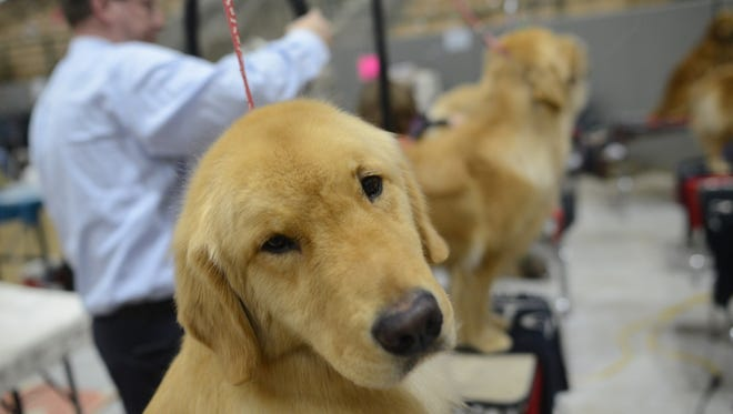 Avian waits his turn at the 2018 Country Music Cluster Dog Show at the Williamson County Ag EXPO Park in Franklin, Tenn. on Saturday, March 10, 2018.