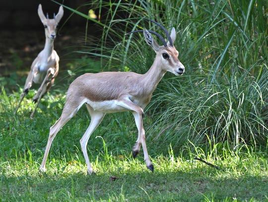 A new habitat for slender-horned gazelles (Gazella