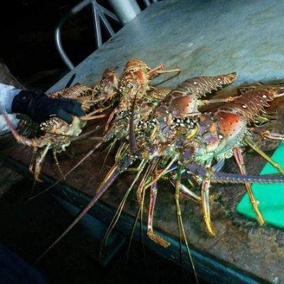These spiny lobsters were caught off Fort Pierce by