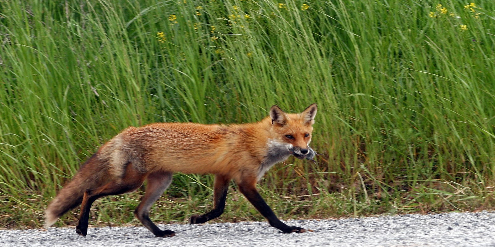 Five people attacked by fox in Glen Ridge, three sent to hospital for treatment