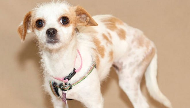 Shayla, a terrier mix, was attacked recently by a pit bull in Moorpark while recovering from bullet wounds she received when her previous owner shot her.