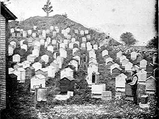 A.E. Manum's apiary on the side of a hill.