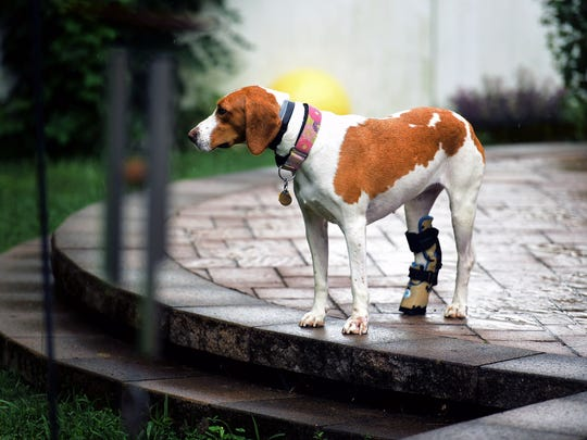 Sadie, an American foxhound, went missing from West