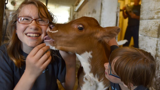 Rachel, left, and Ruth Wilke get the giggles playing with their 1-week-old calf.