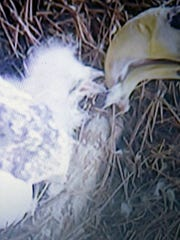 The first Steller's sea-eagle hatchlings in the Louisville