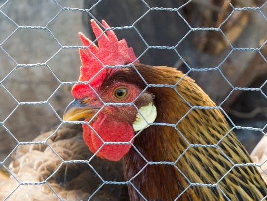 Backyard chickens in Stuart