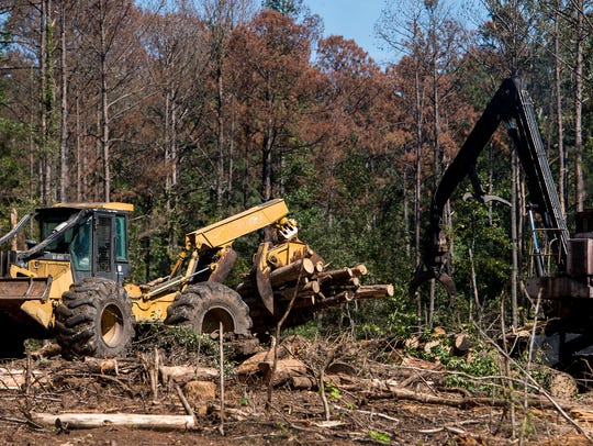 Working to salvage uninfested pine trees and cut down