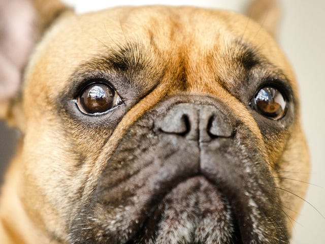 New Research Finds Animals May Help >> Dogs Developed Muscles To Make Puppy Dog Eyes At Humans Study Finds