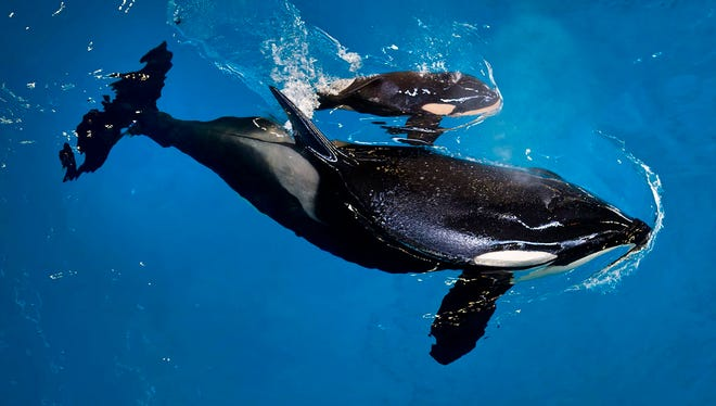 FILE- In this April 19, 2017, image provided by SeaWorld Parks & Entertainment orca Takara helps guide her newborn, Kyara, to the water's surface at SeaWorld San Antonio in San Antonio. Kyara was the final killer whale born under SeaWorld's former orca-breeding program. The Orlando-based company says 3-month-old Kyara died on Monday, July 24, 2017. (Chris Gotshall/SeaWorld Parks & Entertainment via AP, File)