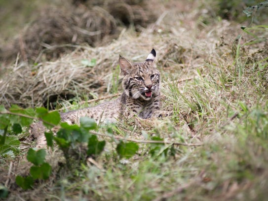 A male bobcat rescued b the Louisiana Bobcat Refuge