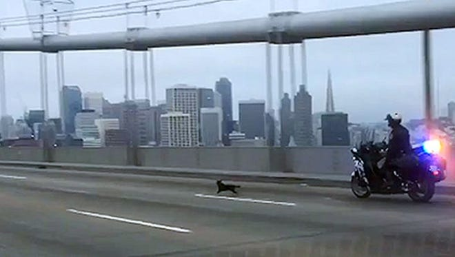 In this frame from video provided by the California Highway Patrol, Officer G. Pumphrey pursues a male Chihuahua running loose on the San Francisco-Oakland Bay Bridge in San Francisco Sunday, April 4, 2016. This image was made from a patrol car running a traffic break to keep cars from passing. Officers finally corralled the dog, then posted images on their Facebook page seeking the public's help in finding the owner.(California Highway Patrol, via AP) ORG XMIT: LA105