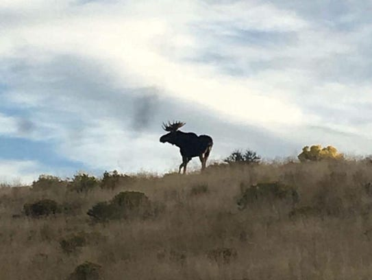 Moose sighting in Elko County in September, 2016.