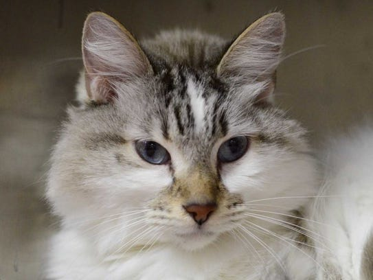 Sebastian - Male domestic long hair, adult. Intake