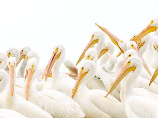 07152016 Naples Depot Connie Mier Pelicans