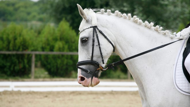 Side view portrait of a beautiful grey dressage horse.