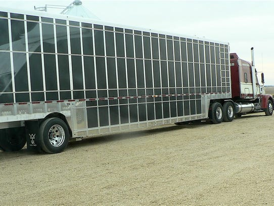 This semi will hold 1200 piglets at a time.