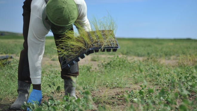 An inmate plants a piece of marsh grass on Poplar Island. This month, nine offenders started planting 53,000 additional plugs of spartina on 2 acres of an open field.